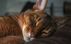 Abyssinian Cat Background