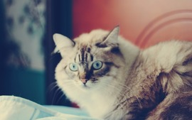 Blue Eyes Cat Pic
