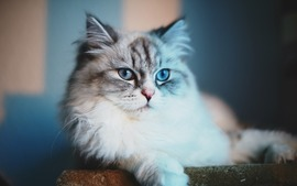 Blue Eyes Cat