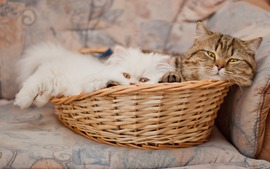 Cats Basket
