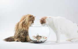 Cats Fish bowl
