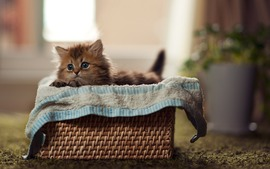 Lovely Kitten Basket Background