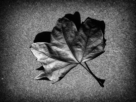 Autumn Leaf Black and White