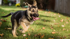 Funny German Shepherd Puppies