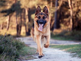 German Shepherd Free Wallpaper