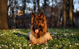 German Shepherd Free Wallpapers