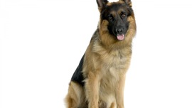 German Shepherd HD