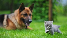 German Shepherd Kitten
