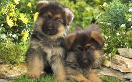 German Shepherd Puppies Backgrounds