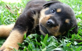 German Shepherd Puppies Close up