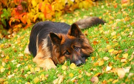 German Shepherd Widescreen