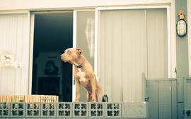 Pit Bull Dogs