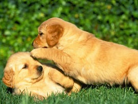 Puppies Backgrounds