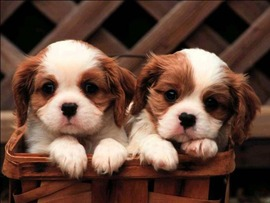 Puppies Free Image