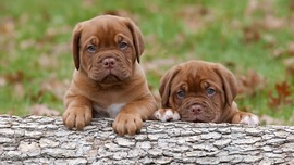Puppies HD