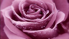Lavender Roses Wallpapers