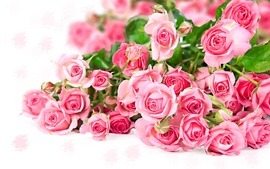 Pink Roses Wide