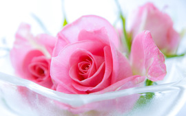 Pink Roses Widescreen