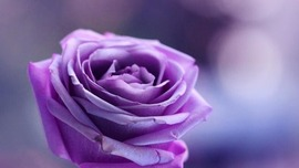 Purple Roses Background