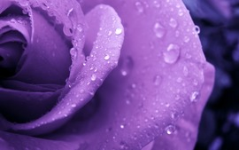 Purple Roses Backgrounds