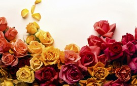 Roses Backgrounds