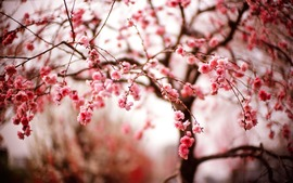 Beautiful Spring Cherry Blossom