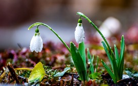 Spring Galanthus Flowers