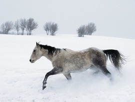 Snow Horse Wallpaper