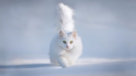 Snow White Cat