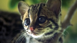 Kitten HD Wallpaper