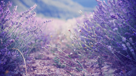 Lavender Flowers Wallpapers