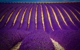 Lavender Flowers Wide Wallpapers