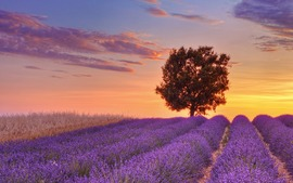 Lavender Flowers Widescreen