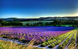 Lavender Wide Wallpaper