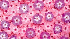 Pink Color Backgrounds
