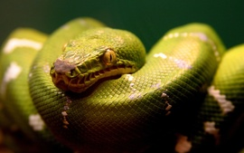 A Green Snake Wallpaper