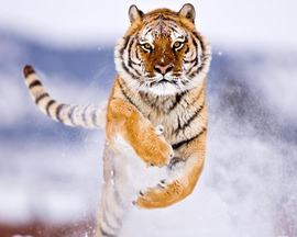 Amur Tiger In Snow