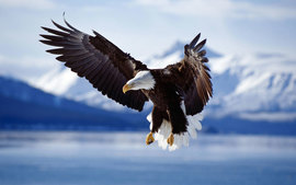 Bald Eagle In Flight Alaska