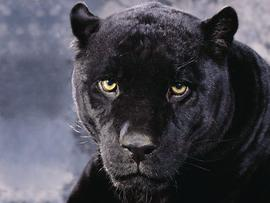 Black Cheetah