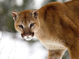 Cougar In Winter Montana