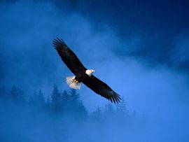 Flight Ofdom Bald Eagle