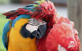 Friends Macaws