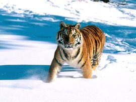 Majestic Grace Siberian Tiger