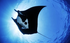 Manta Ray Sea Creature
