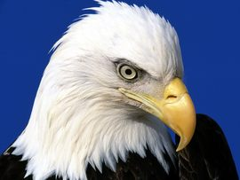 Noble Lead Bald Eagle