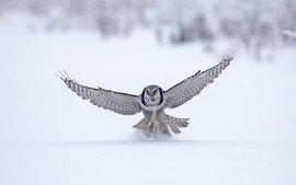 Northern Hawk Finland