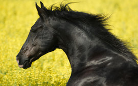 Portrait Of A Friesian
