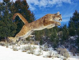 Raw Power Cougar