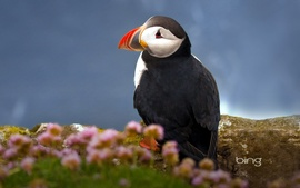 Seabird Atlantic Puffin