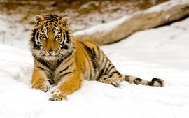 Snowy Afternoon Tiger 2